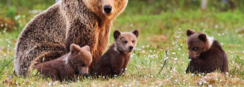 DNA offers insight into grizzly bear recovery—and possible genetic isolation hero image