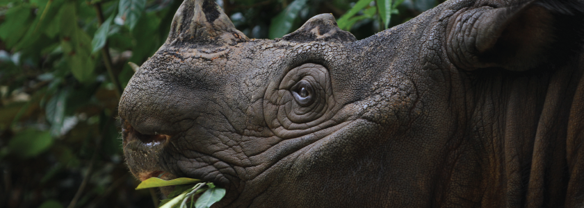 Help is on the way for the endangered Sumatran rhino, courtesy of NGS sequencing hero image