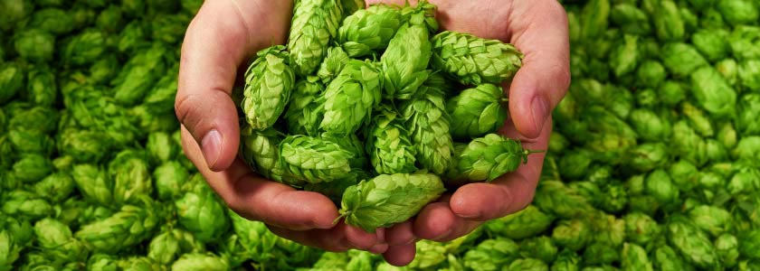 Hoppy beer without the hops? Yes, if you brew with CRISPR hero image