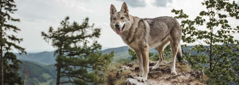 Rare Mexican wolf packs augmented with captive-raised pups to boost genetic variability hero image