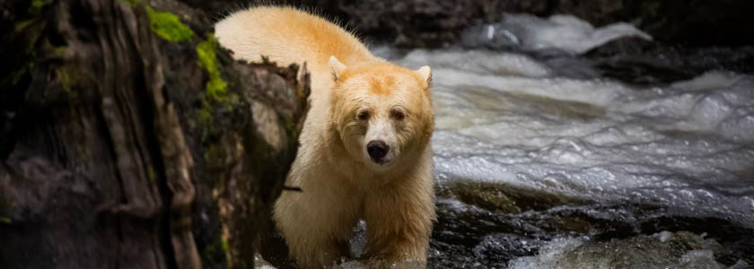 Genetic studies suggest Canada's Spirit bear gene rarer than previously thought hero image