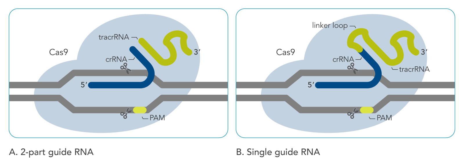 Comparison of synthetic tracrRNA:crRNA and sgRNA