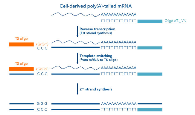 cell derived poly(A)-tailed mRNA