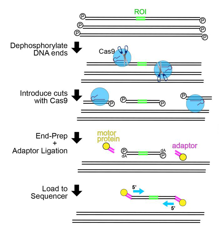 Schematic of nanopore Cas9-targeted sequencing library preparation