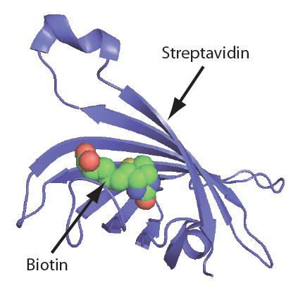 Biotin Fig 1