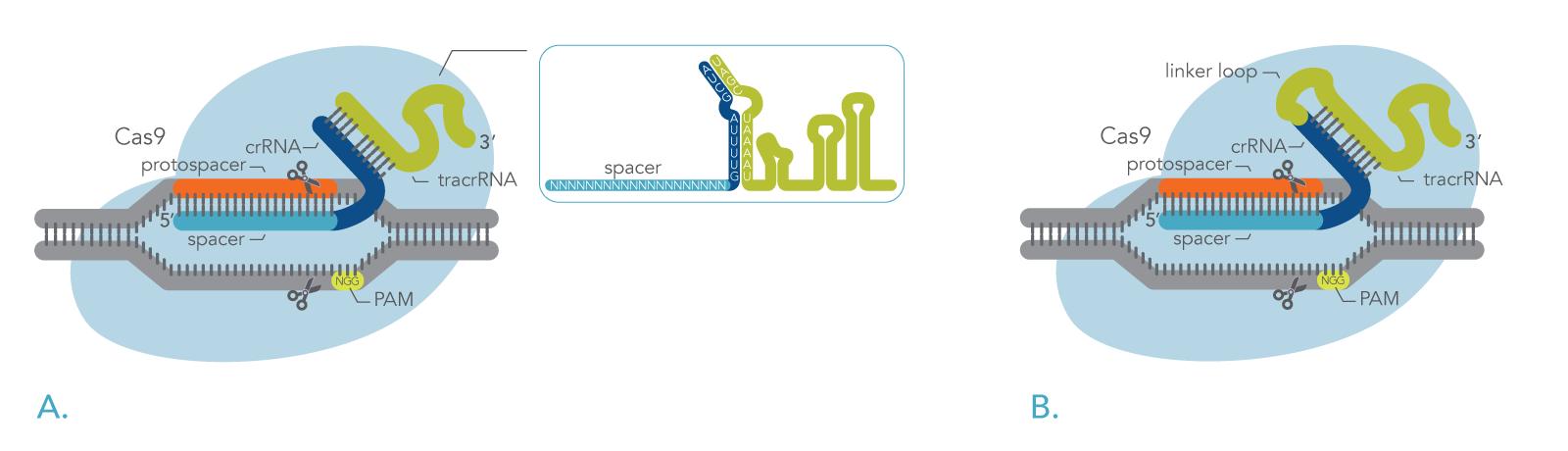 CRISPR Cas9 creates double-strand breaks in genomic DNA