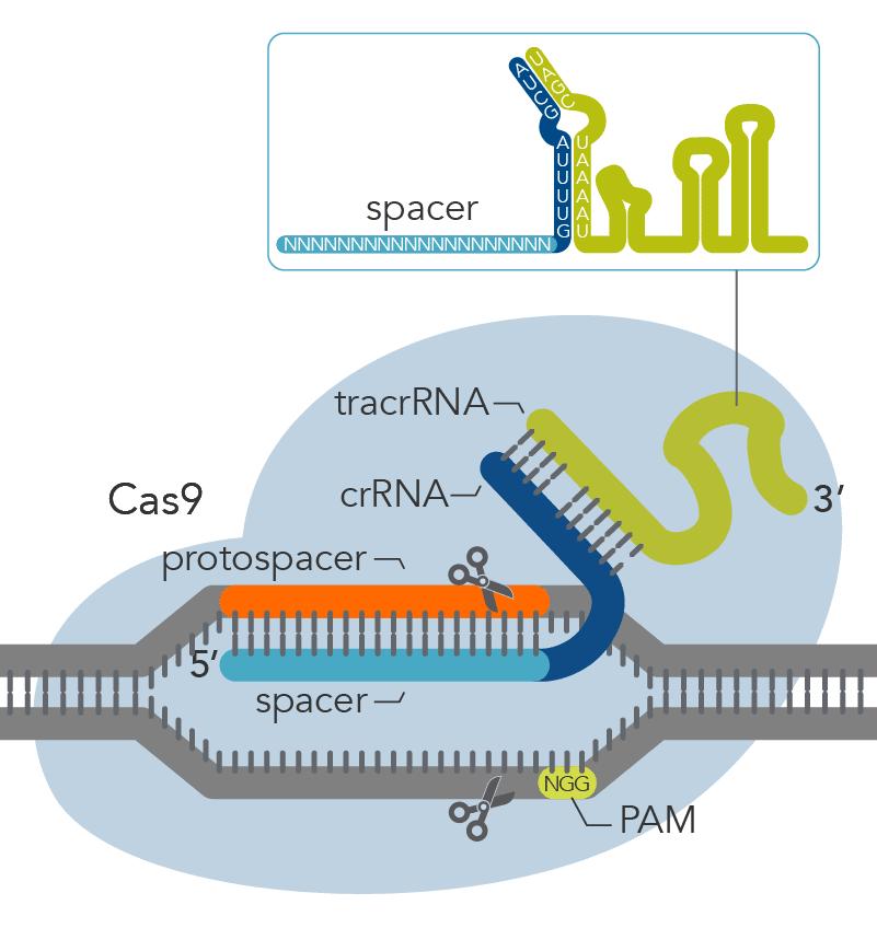 CRISPR-Cas9 detail