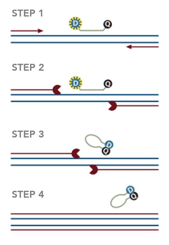 Molecular beacons schematic
