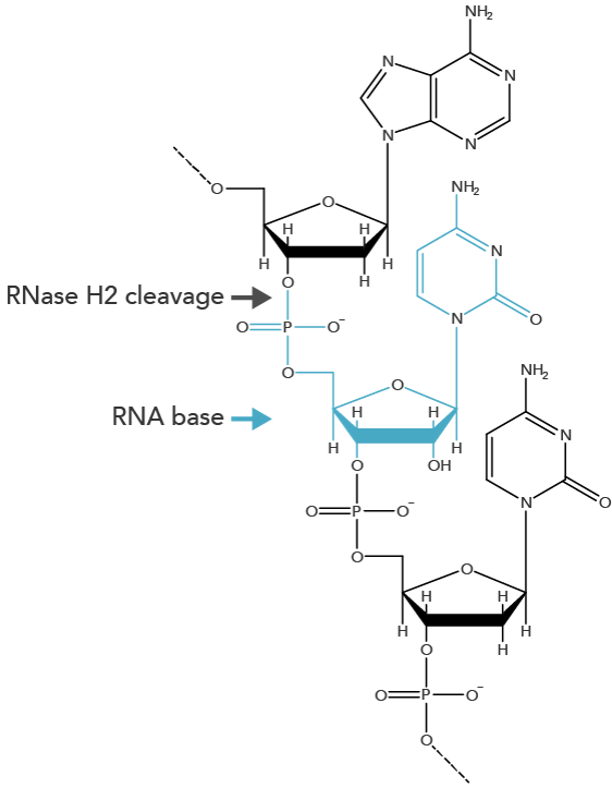 rnase-h2-rna-base-cleavage-structure